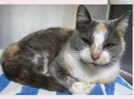 Domestic Short Hair & Calico Mix • Adult • Female • MediumShe is about 3 years old and such a lovely girl. She is a sweetheart and getting used to being here in a shelter away from home and what is familiar. She is looking for a comfortable home to have peace, love and companionship.https://www.petfinder.com/petdetail/34258453