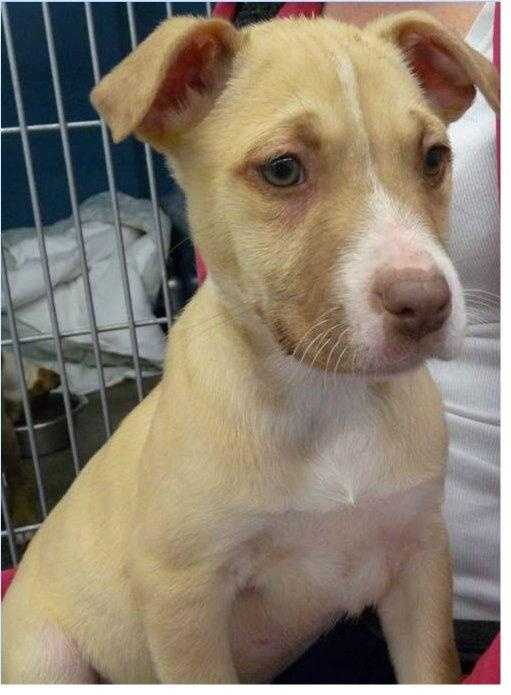 Pit Bull Terrier & Labrador Retriever Mix • Baby • Male • Mediumhttps://www.petfinder.com/petdetail/34260177
