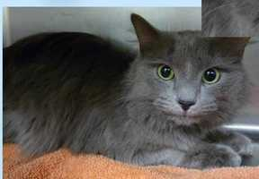 Domestic Medium Hair & Russian Blue Mix • Adult • Male • MediumChristian looks to be a longer haired Russian Blue. He has beautiful fur that is a silver mist color. He is about 3 years old and is such a handsome boy. He is a little shy right now but coming around every day-Russian Blues have a tendency to be shy until they get to know you and they make extremely loyal and loving pets.https://www.petfinder.com/petdetail/34258447