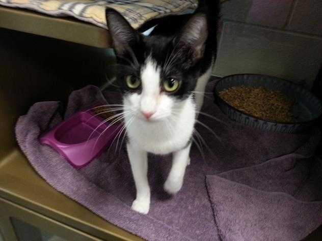 Domestic Short Hair • Adult • Female • SmallFlorence is such a delightful girl. She is on the small side with a very sleek coat. She has a very gentle disposition and is so people oriented.https://www.petfinder.com/petdetail/33395100