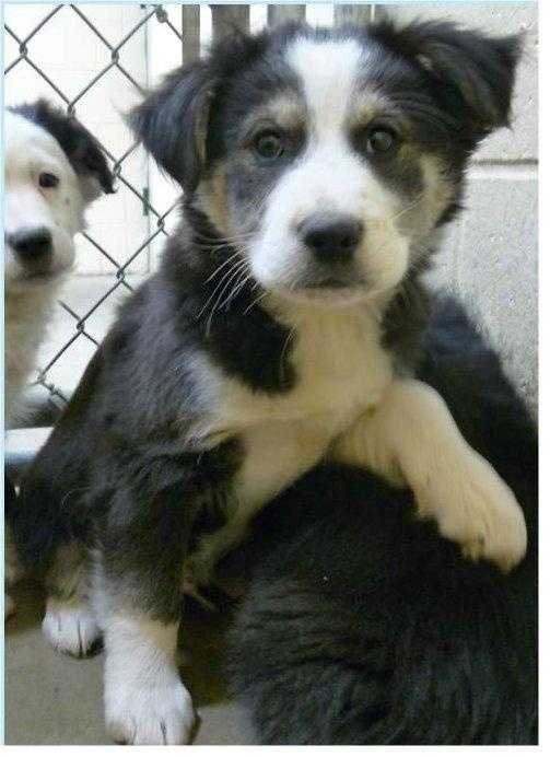 Border Collie • Baby • Male • Medium8 weeks old and will be available for adoption on 1/18 if not reclaimed.https://www.petfinder.com/petdetail/34260310