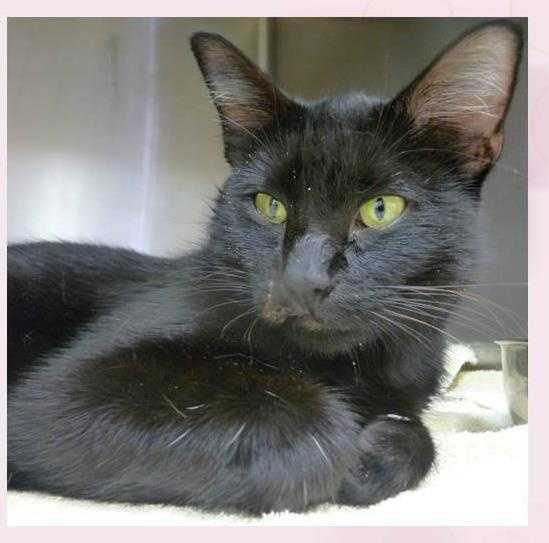 Domestic Short Hair • Adult • Female • MediumPoor Tinsel came to us possibly hit by a car. This 2 year old should be just fine but needs a loving home with lots of care and compassion as she heals. She is a beautiful sleek, black beauty.https://www.petfinder.com/petdetail/33753333
