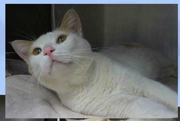 Domestic Short Hair • Adult • Male • LargeTuna is a 2 year old handsome boy. He was totally at ease in this pic. He is a nice fella and has really awesome coloring with lots of showy white. He is a large cat-big, sweet boy at 16 lbs!https://www.petfinder.com/petdetail/33099956