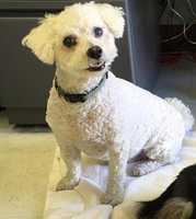 Bichon Frise • Senior • Male • SmallBaxter is 12 years old and needs a good home. Full blood bichon frise. He is super sweet!https://www.petfinder.com/petdetail/33935490