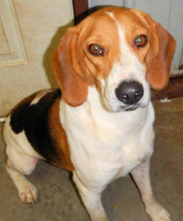 Treeing Walker Coonhound • Young • Male • Smallhttps://www.petfinder.com/petdetail/27035600