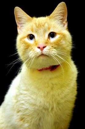 Siamese Mix • Adult • Male • Smallhttps://www.petfinder.com/petdetail/34284051