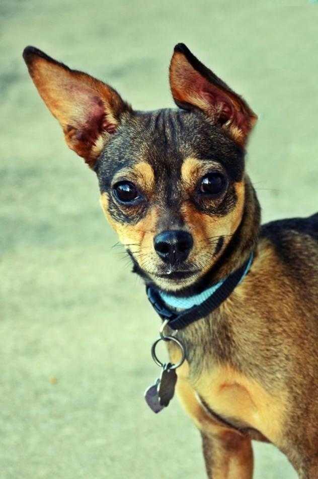 Terrier & Dachshund Mix • Adult • Female • Smallhttps://www.petfinder.com/petdetail/33717663