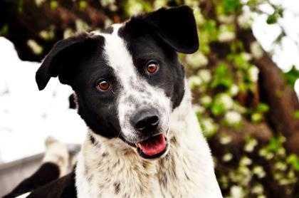 Border Collie & Labrador Retriever Mix • Adult • Male • Mediumhttps://www.petfinder.com/petdetail/34122847