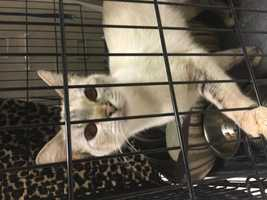 Siamese • Young • Female • Mediumhttps://www.petfinder.com/petdetail/34357490Quennie! She's a true queen bee. She loves to talk and will follow you around wanting attention. She is only a few years old and is so beautiful. She needs to gain weight, so we recommend wet and dry food for her. Call Meredith (479) 650-7915.