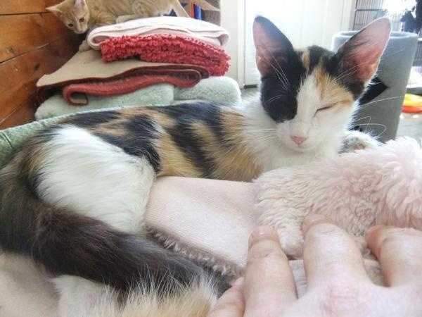 Sakura, Bella Vista Animal Shelter, 479-855-6020