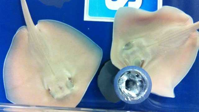Sting rays are generally friendly creatures. They have poisonous barbs in their tails, which they may use in self defense.