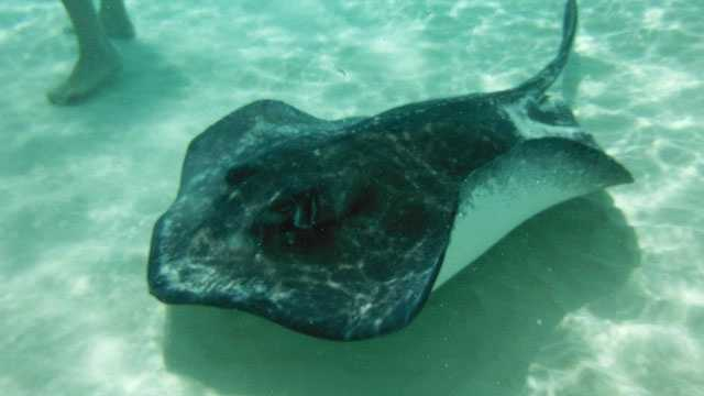 Sting rays can grow longer than six feet and weigh nearly 800 pounds.