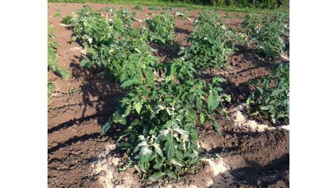 Larry Moore's tomato plants