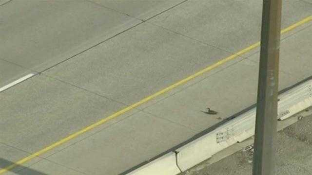 A duck and her ducklings make a mad dash across a busy Toronto, Canada highway. All of them made it across safely.