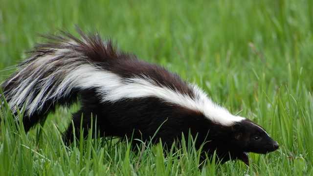Skunk file