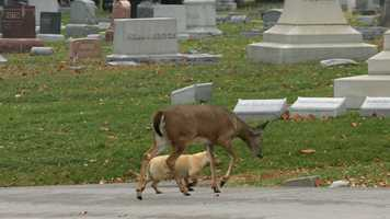 A dog and a deer named Ella became fast friends at Elmwood Cemetery in Kansas City. A local animal shelter took the dog out of concern that it might not survive the winter.