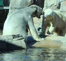 "From the Kansas City Zoo: Now, as they share Polar Bear Passage together, we shall see if the 1500 pounds of big, white,strong independent and beautiful bears find their ""love connection."""