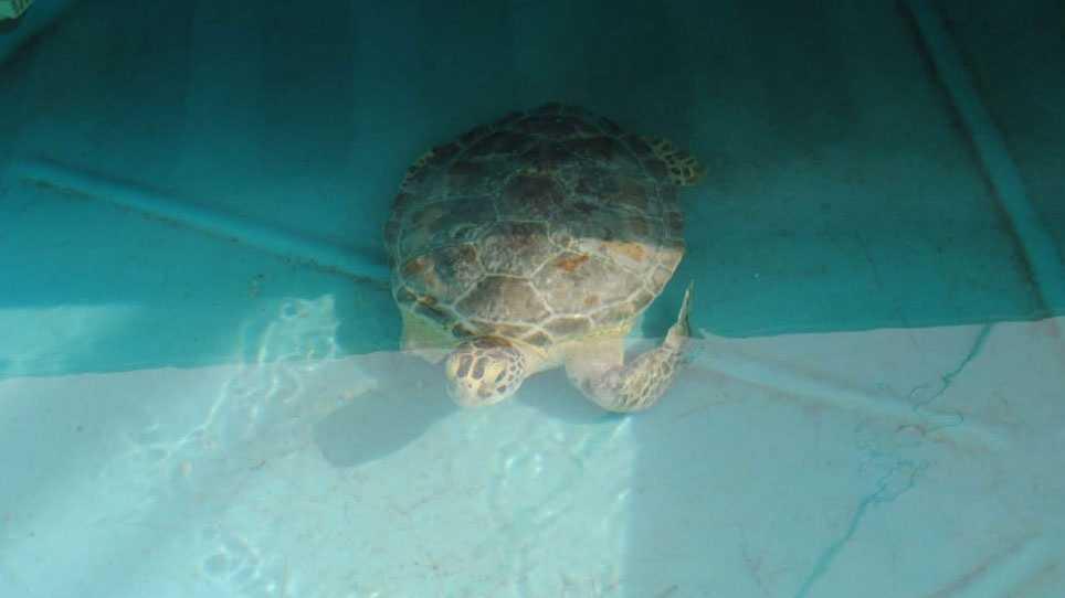 Kc Aquarium To Get Endangered Sea Turtle