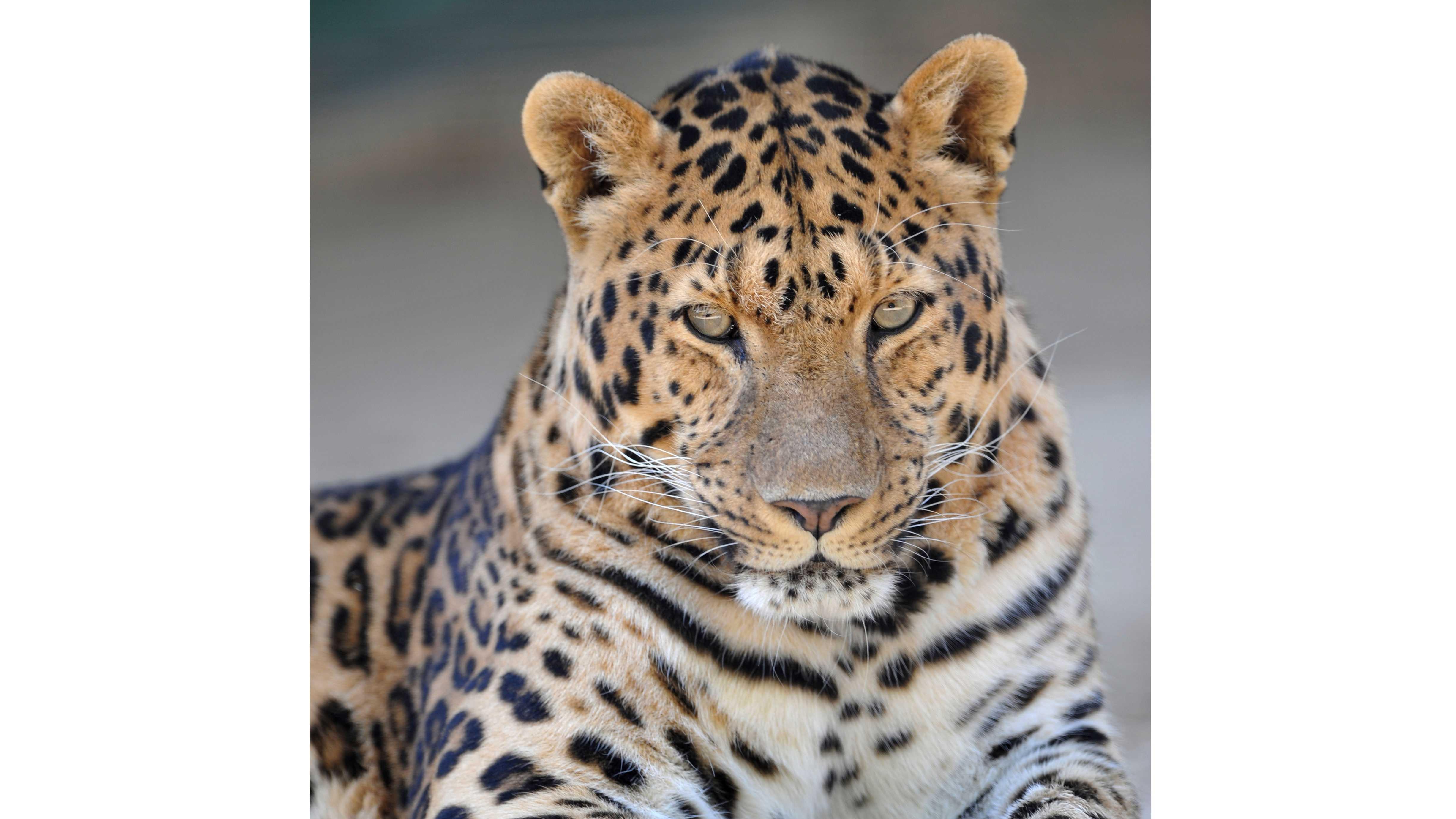 Amur leopard at KC Zoo