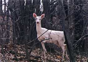 The MDC said the deer is not a true albino deer, which require both the male and female parents of the deer to carry the recessive albino genes.