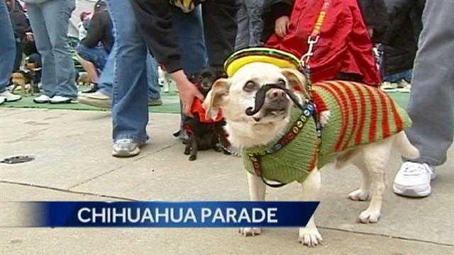 Image Chihuahua parade