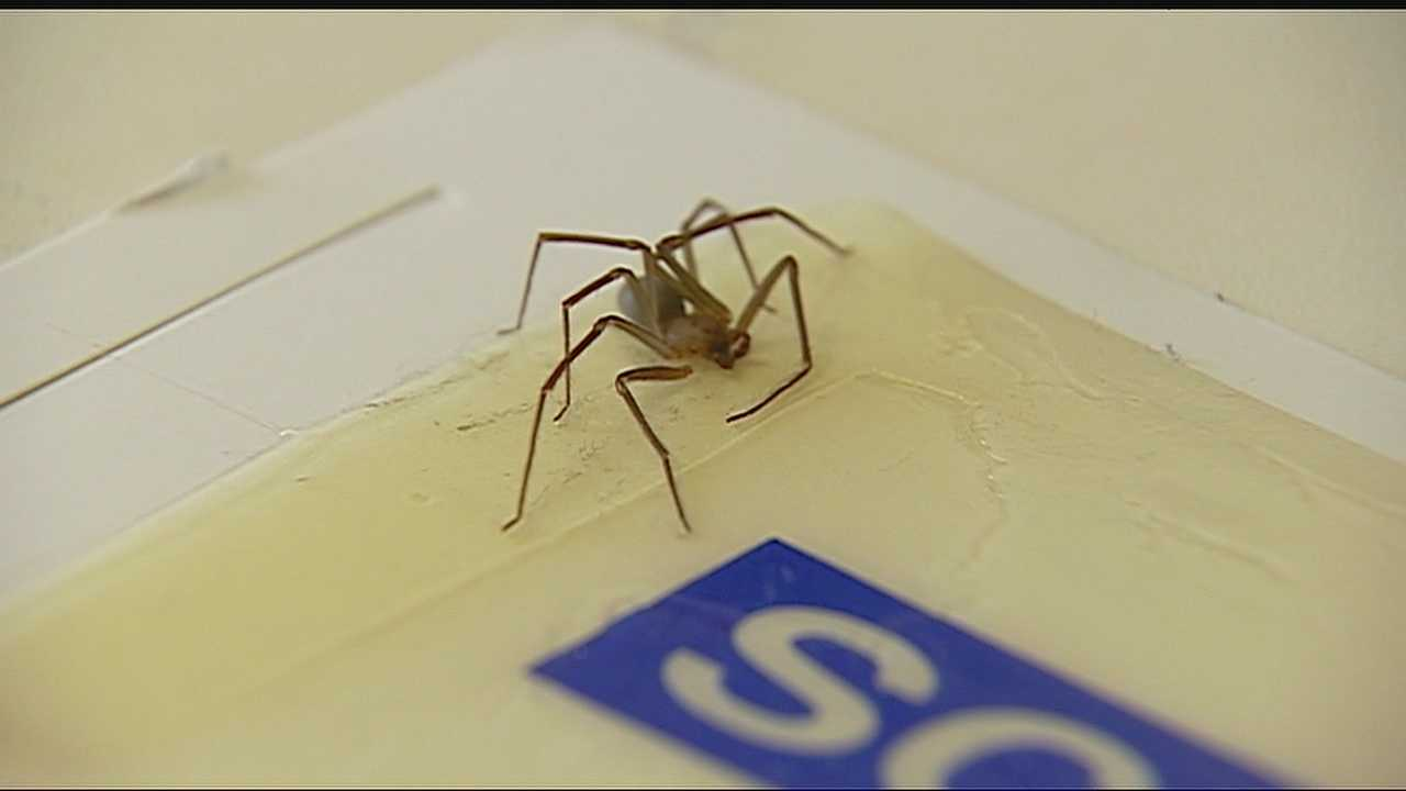 Image Brown Recluse spider on trap