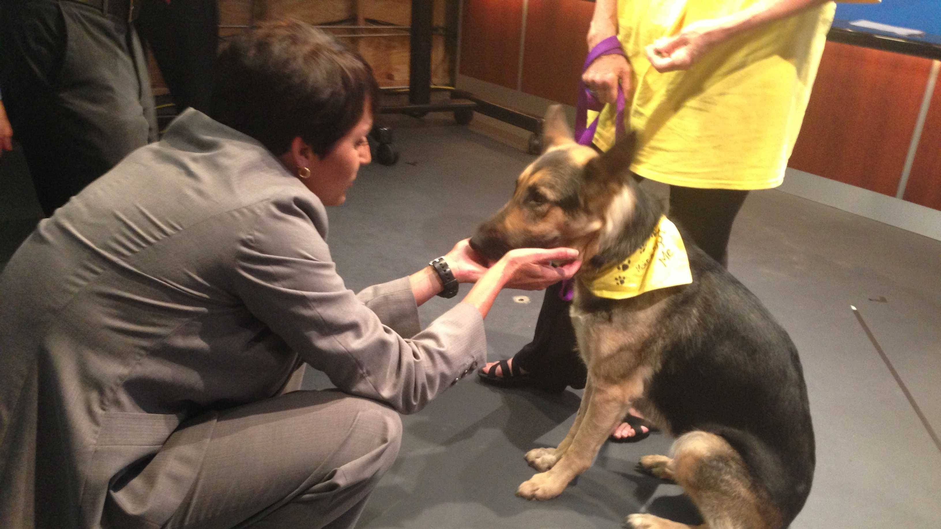 "Recovering German shepherd Lindey kisses KMBC's Lara Moritz during an interview on KMBC.TV's ""The Wrap."""