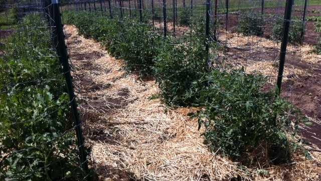 Image Larry's tomatoes