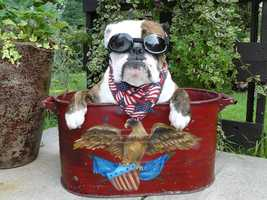 "INDEPENDENCE, Mo. - According to this bulldog's photographer, ""Chuck Norris says have a happy & Safe 4th or he will roundouse kick ya!"""