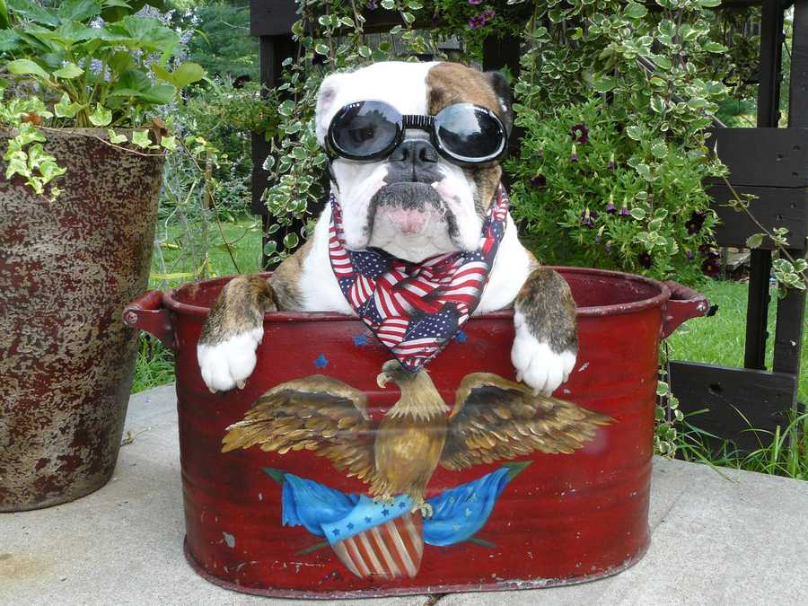 """INDEPENDENCE, Mo. - According to this bulldog's photographer, """"Chuck Norris says have a happy & Safe 4th or he will roundouse kick ya!"""""""