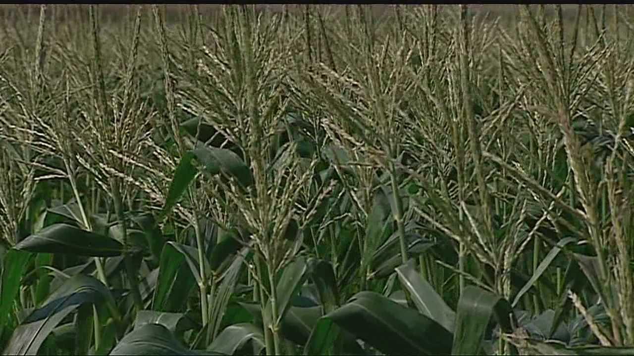 Image Corn growing in field
