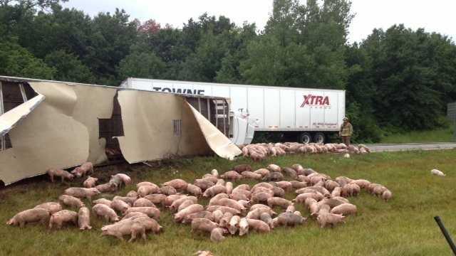 Cameron wreck, pigs loose