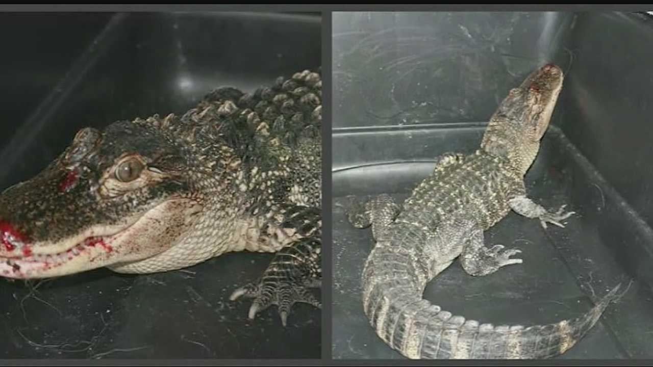 Alligator found in Atchison County Lake had been shot