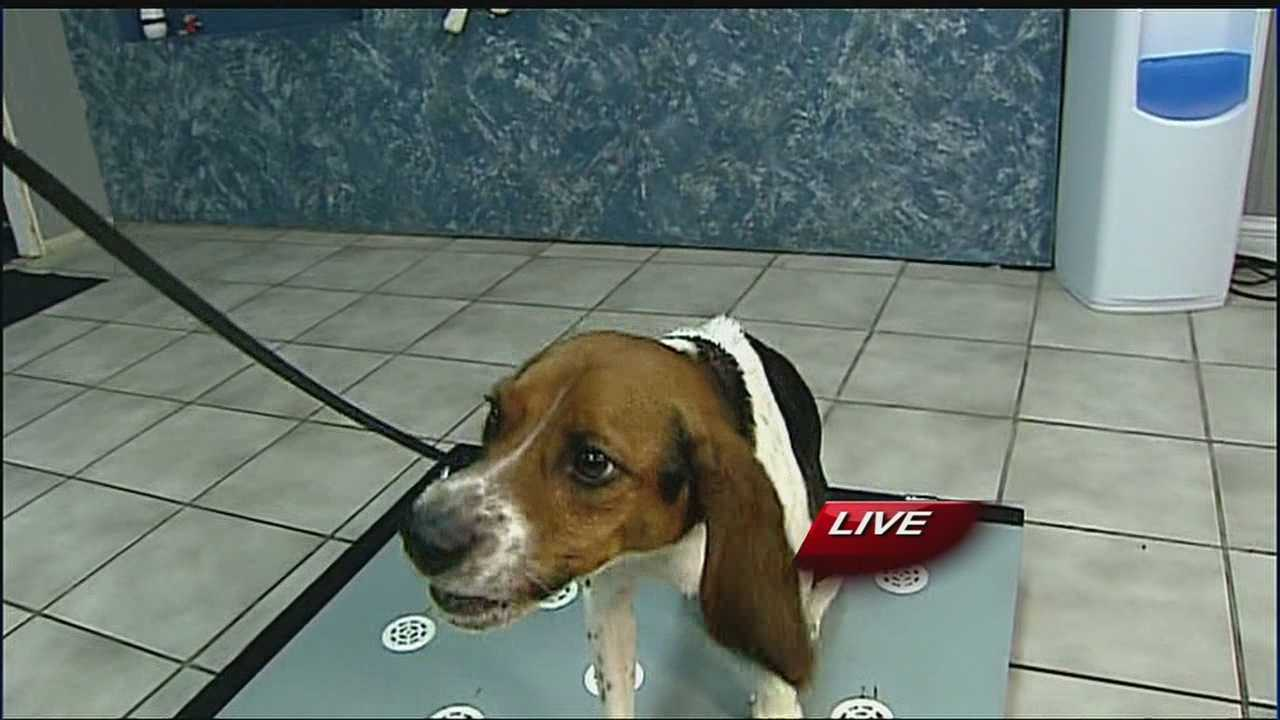 A Shawnee beagle named Elvis is in demand at zoos across the country for his skills at being able to detect whether female polar bears are pregnant.