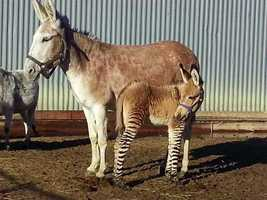 A zedonk, a part zebra part donkey hybrid, has been born on a central Kansas exotic animal farm, the farm's owners said.
