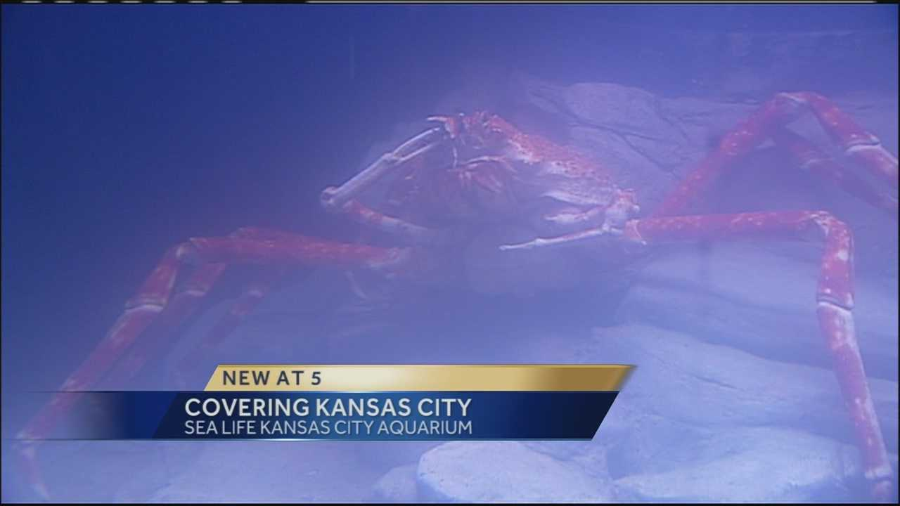 """Check out these images of a giant 14-foot crab that goes on display to the public on Wednesday at SEA LIFE Kansas City Aquarium at Crown Center. The Japanese Spider crab is a part of the new """"Claws"""" exhibit."""