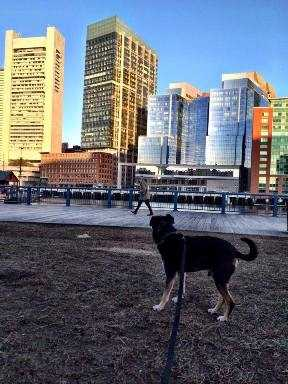 Puck on a walk in Boston.