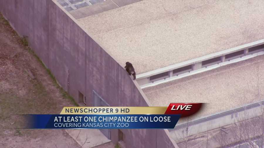 At least one chimpanzee escaped from its enclosure at the Kansas City Zoo on Thursday afternoon. These are images from NewsChopper 9 HD over the zoo, which saw a chimp climbing walls.