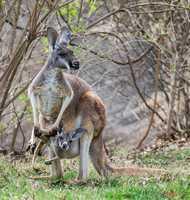 A mom and her baby kangaroo