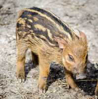 Red river hog piglets at the KC Zoo.