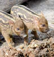Red river hog piglets at the Kansas City Zoo.