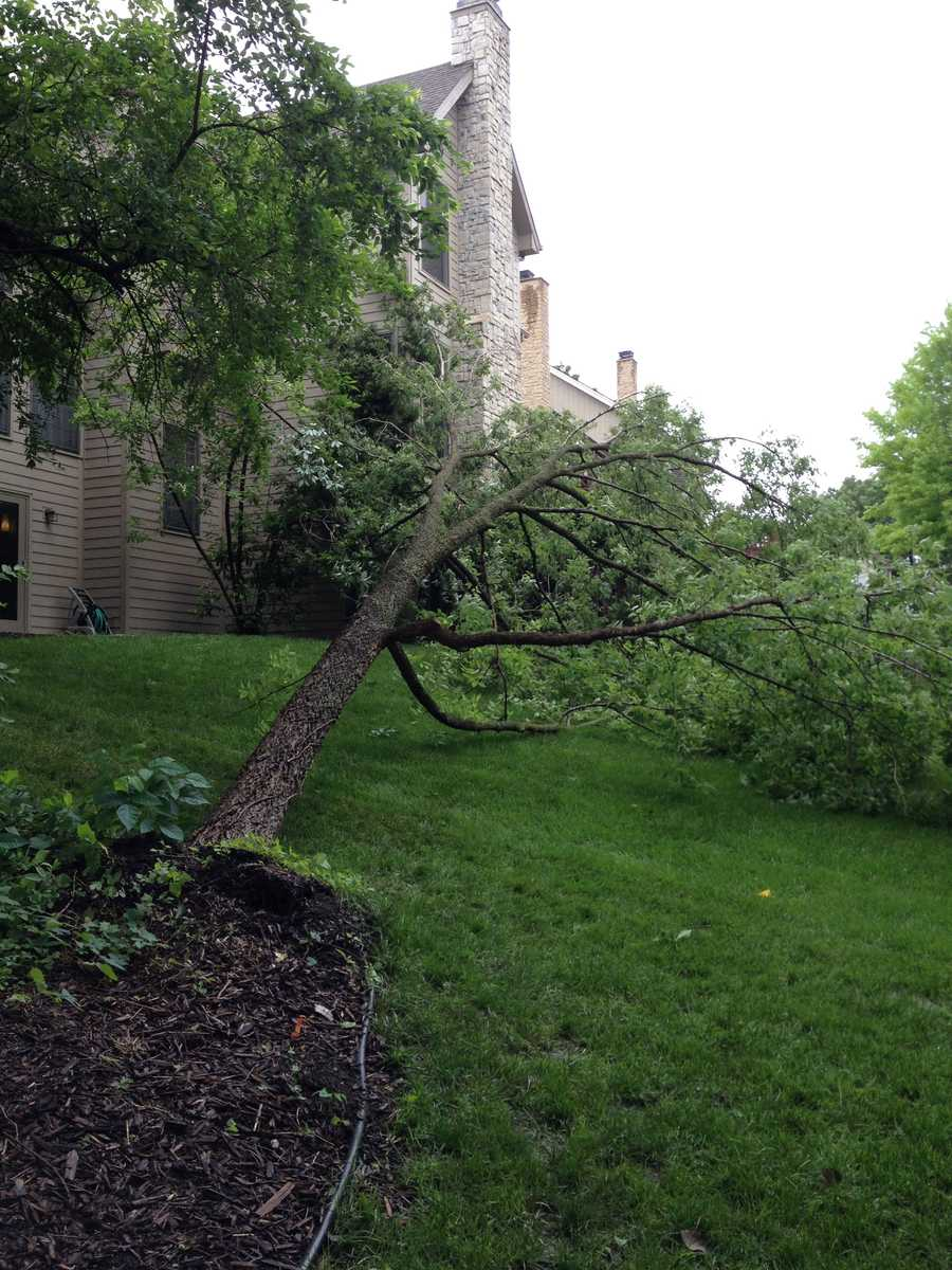 Winds knocked over this tree in Lawrence, Kansas.