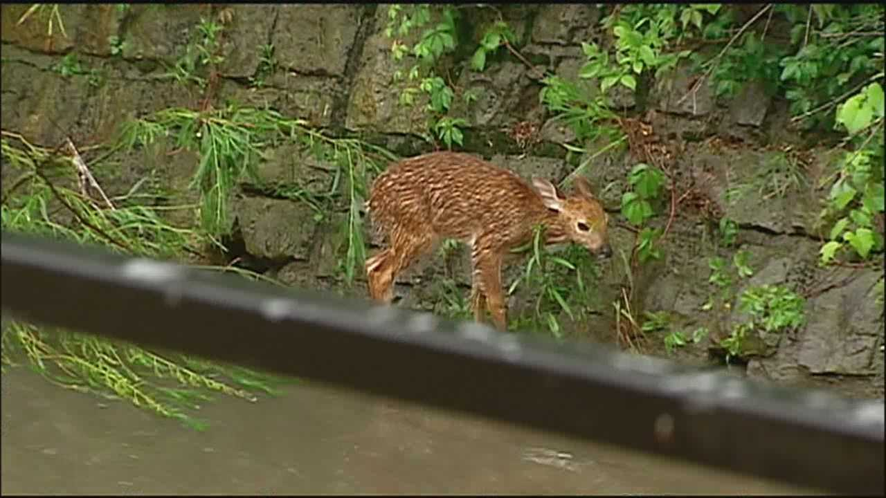 Firefighters said they worked to try to save a fawn that had been trapped in the high waters of a rain-swollen Kansas City creek.