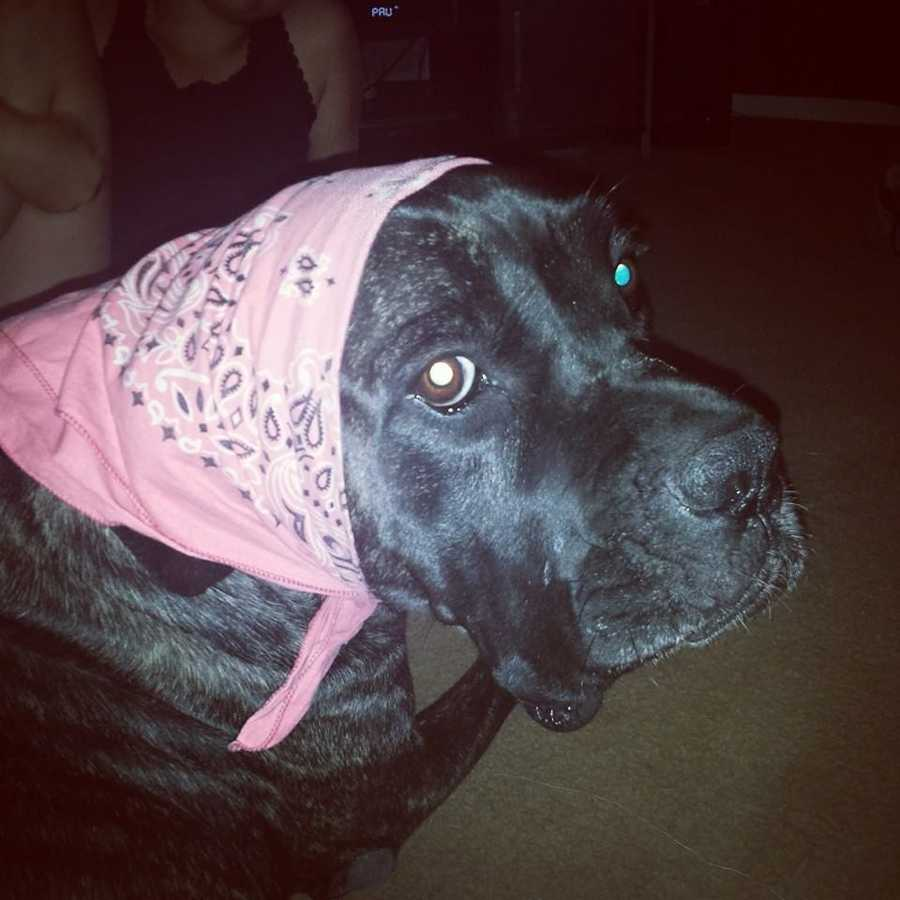 Candice Holman – Bella the 3-year-old Cane Corso