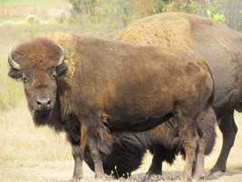 The Kansas State Animal is the Buffalo. The Buffalo is prominently featured on the back of the U.S. Mint's bicentennial quarter for Kansas, on the state seal and the state flag.