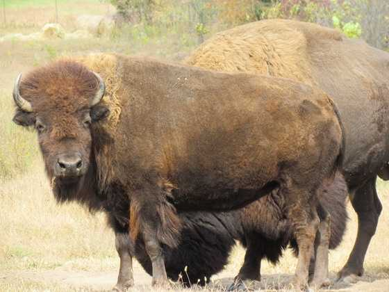 The Kansas State Animal is the Buffalo.The Buffalo is prominently featured on the back of the U.S. Mint's bicentennial quarter for Kansas, on the state seal and the state flag.