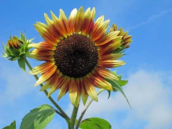 "The Kansas State Flower is the Sunflower. Kansas is known as the ""Sunflower State."""