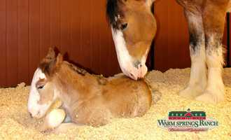 Images of the newest Budweiser Clydesdale, named Arizona, which was born during the Super Bowl.
