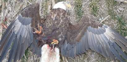 """Someone shot and killed a bald eagle in central Kansas and game wardens are searching for the shooter. Kansas Game Wardens said the bald eagle was shot and killed sometime Wednesday morning below the Marion Reservoir's dam near Hillsboro, Kan., north of Wichita. """"Anyone with information is asked to call Operation Game Thief at 877-426-3843,"""" game wardens posted on the Kansas Wildlife, Parks and Tourism Facebook page.""""All tips will remain anonymous. The bald eagle is the national bird of the United States and is protected by federal law."""