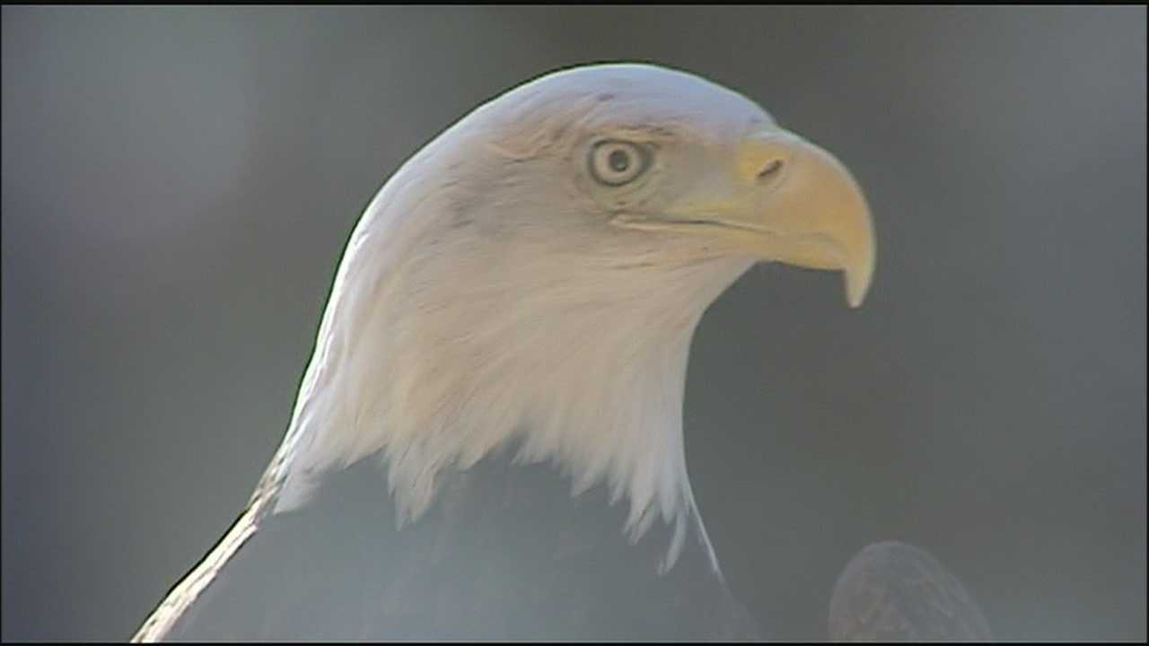 A wildlife expert doubts the recent killing of a bald eagle near a Kansas lake was an accident.